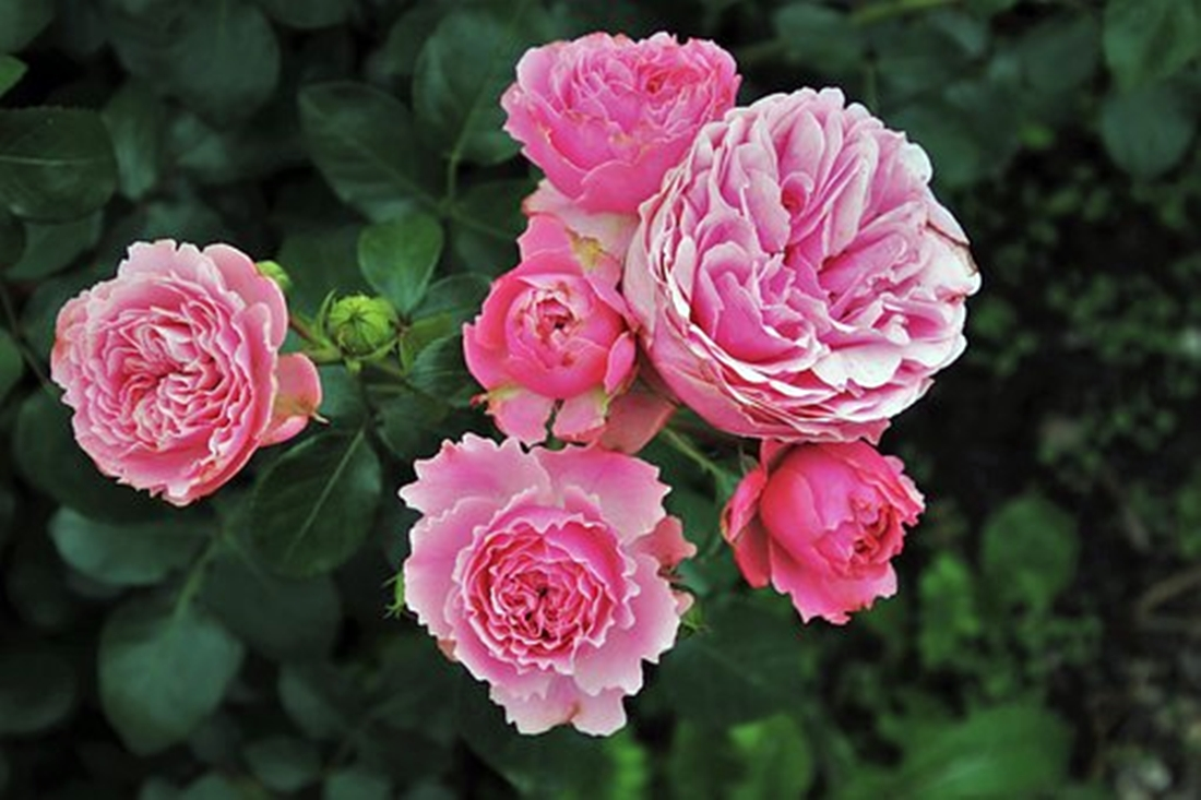 3 Reasons Why Rose Plants Make Better Sympathy Gifts than Rose Bouquets